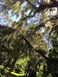 A beautiful day around my Florida home staring at the Spanish Moss that drapes our oak trees.